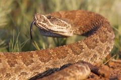 Danger Close. Prairie Rattlesnake on full alert in grass Stock Photo