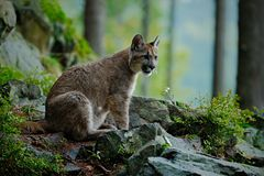 Danger Cougar siting in the green forest Stock Photos