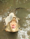 Danger crocodile with opened mouth Royalty Free Stock Images
