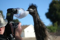 Danger Danger Danger. Emu Diaries - Attack of a camera man's flash unit. Giggle Royalty Free Stock Photos