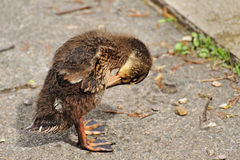 Danger! Dawdling Duckling. A metaphor for road safety, that may help children understand the importance of not dawdling, when crossing a road. A young Mallard Stock Photography
