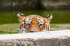 Danger: hungry tiger Stock Photo