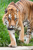 Danger: hungry tiger Stock Photography