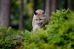 Danger Mountain Lion in the green forest. USA Royalty Free Stock Images