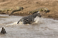 Danger on the riverbank. Zebra climbing on riverbank with crocodiles on it in Masai Mara Kenya Royalty Free Stock Photo