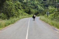 Danger Road Cow Animal Stock Photos