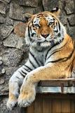 Danger tiger Royalty Free Stock Images