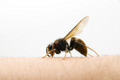 Danger wasp Royalty Free Stock Photo