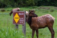 Danger wild Elk Royalty Free Stock Images