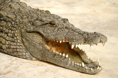 Dangerous alligator Stock Photography