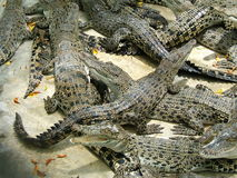 Dangerous alligators. Many scary alligators stock photography