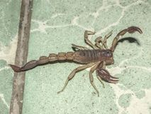 Close up of a dangerous scorpion on a green stone floor stock images