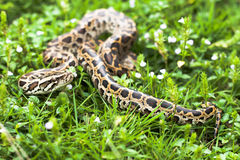 Dangerous animal (Burmese python) could be found between the green grasses on your backyard Royalty Free Stock Image