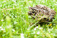Dangerous animal (Burmese python) could be found between the green grasses on your backyard Stock Photo