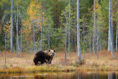 Dangerous animal in nature forest and meadow habitat. Wildlife scene from Finland near Russia bolder. Autumn forest with bear. Bea Royalty Free Stock Images