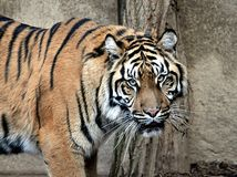 Dangerous animal - tiger Royalty Free Stock Photos
