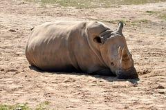 Dangerous animals - rhino Royalty Free Stock Image