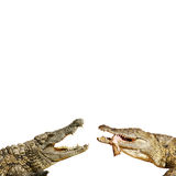 Dangerous beasts. Dangerous alligators with open mouth Royalty Free Stock Images