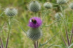 Dangerous beauty. Bumblebee collecting nactar on a flowering thistle Royalty Free Stock Photography