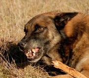 Dangerous belgian shepherd. Aggressive purebred belgian shepherd malinois in a field Stock Images