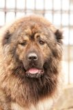 Dangerous, big dog. Big brown dog with brown eyes looking at you Royalty Free Stock Photo