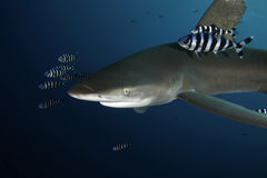 Dangerous big Shark Red Sea Stock Photo