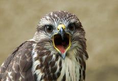 Screaming bird. Screaming buzzard portrait - Buteo buteo Royalty Free Stock Photography