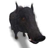 Dangerous black boar is stiff-bristled Royalty Free Stock Image