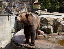 Dangerous brown bear Royalty Free Stock Photos