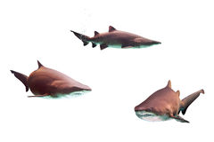 Dangerous bull sharks Stock Photos