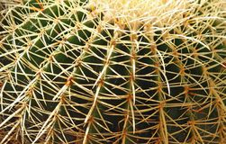 Dangerous cactus with spines very dense Royalty Free Stock Images