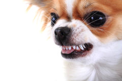 Dangerous chihuahua face. Isolated on the white background Royalty Free Stock Image