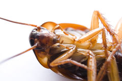 Dangerous Cockroach Stock Photography