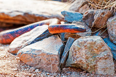 Dangerous Colletts Cobra On Rocks Royalty Free Stock Image