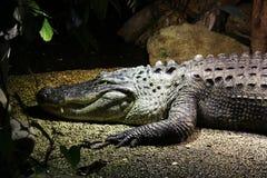 Dangerous crocodile Stock Photos