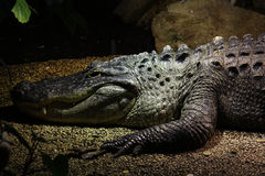 Dangerous crocodile Stock Photo