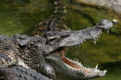Dangerous crocodile Stock Photos