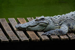 Dangerous crocodile Royalty Free Stock Photography