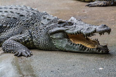 Dangerous crocodile Stock Photo
