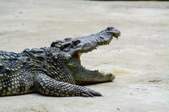 Dangerous crocodile. Dangerous asia's crocodile in Thailand showing her jaws Stock Image