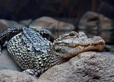 Dangerous crocodile. Close up of a dangerous crocodile Stock Photos