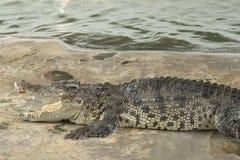 Dangerous crocodile Royalty Free Stock Photography