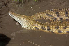 A dangerous Crocodile. In Oasis Park on Fuerteventura , Canary Island Royalty Free Stock Photo