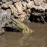 A dangerous Crocodile in Oasis Park on Fuerteventura. Canary Island Royalty Free Stock Photo