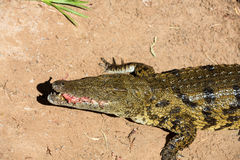 A dangerous Crocodile in Oasis Park on Fuerteventura. Canary Island Stock Images