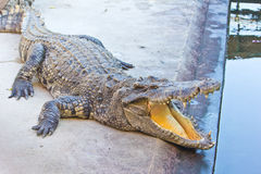 Dangerous crocodile open mouth Royalty Free Stock Photos