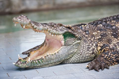 Dangerous crocodile with open mouth Royalty Free Stock Photo