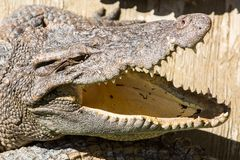 Dangerous crocodile open mouth in farm in Phuket, Thailand. Alligator in wildlife Royalty Free Stock Image