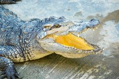 Dangerous crocodile open mouth in farm in Phuket, Thailand Royalty Free Stock Photography