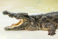 Dangerous crocodile open mouth in farm in Phuket, Thailand. Stock Photo
